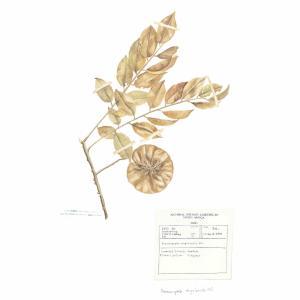 Pterocarpus
